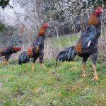 Shamo/aseel/rooster