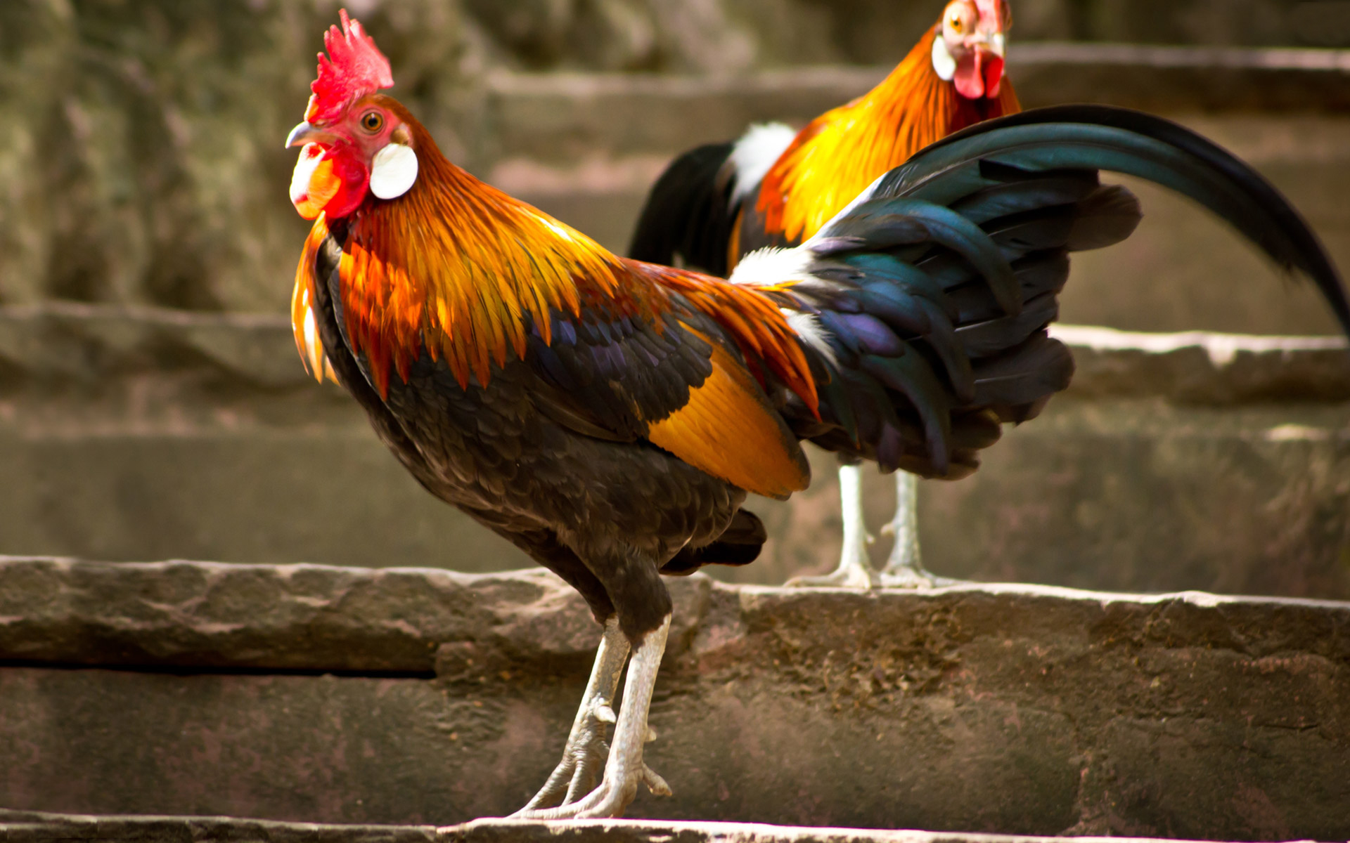 Best Rooster Diet & The History of Rooster Treatment