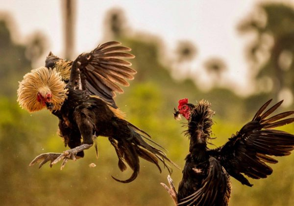 Roosters Fight