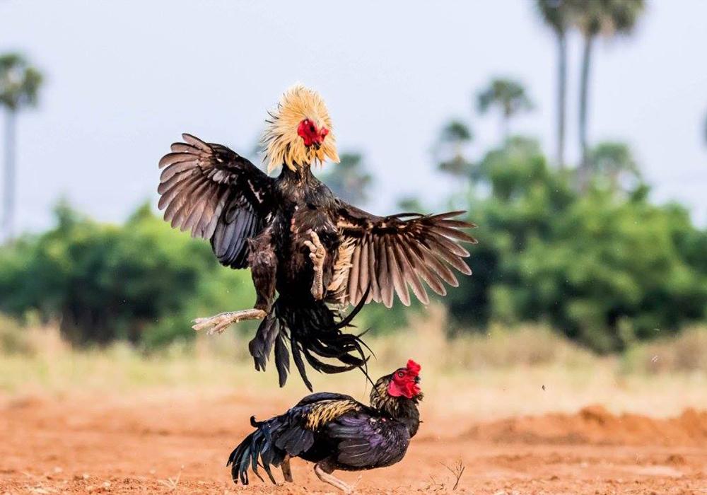 Shop Cockfighting Online